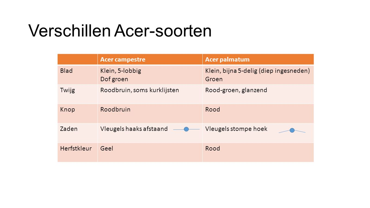 Verschillen Acer-soorten Acer campestreAcer palmatum BladKlein, 5-lobbig Dof groen Klein, bijna 5-delig (diep ingesneden) Groen TwijgRoodbruin, soms k