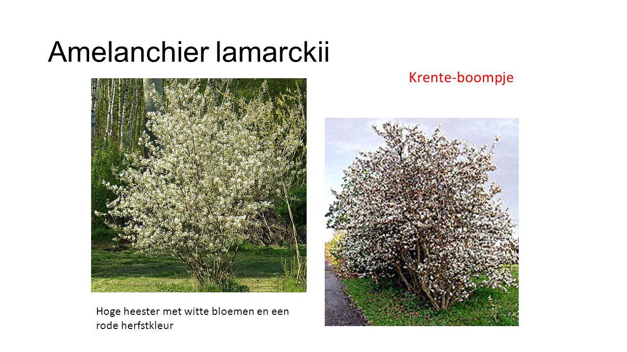 Amelanchier lamarckii Blad bruin uitlopend Rode herfstkleur Een van de eerste heesters die de herfst inluiden Ovaal blad Gezaagde bladrand