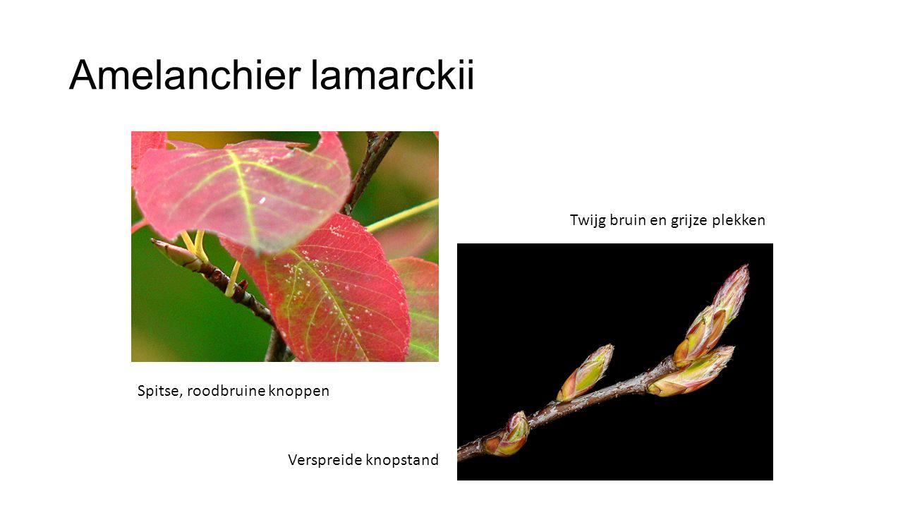 Amelanchier lamarckii Twijg bruin en grijze plekken Spitse, roodbruine knoppen Verspreide knopstand