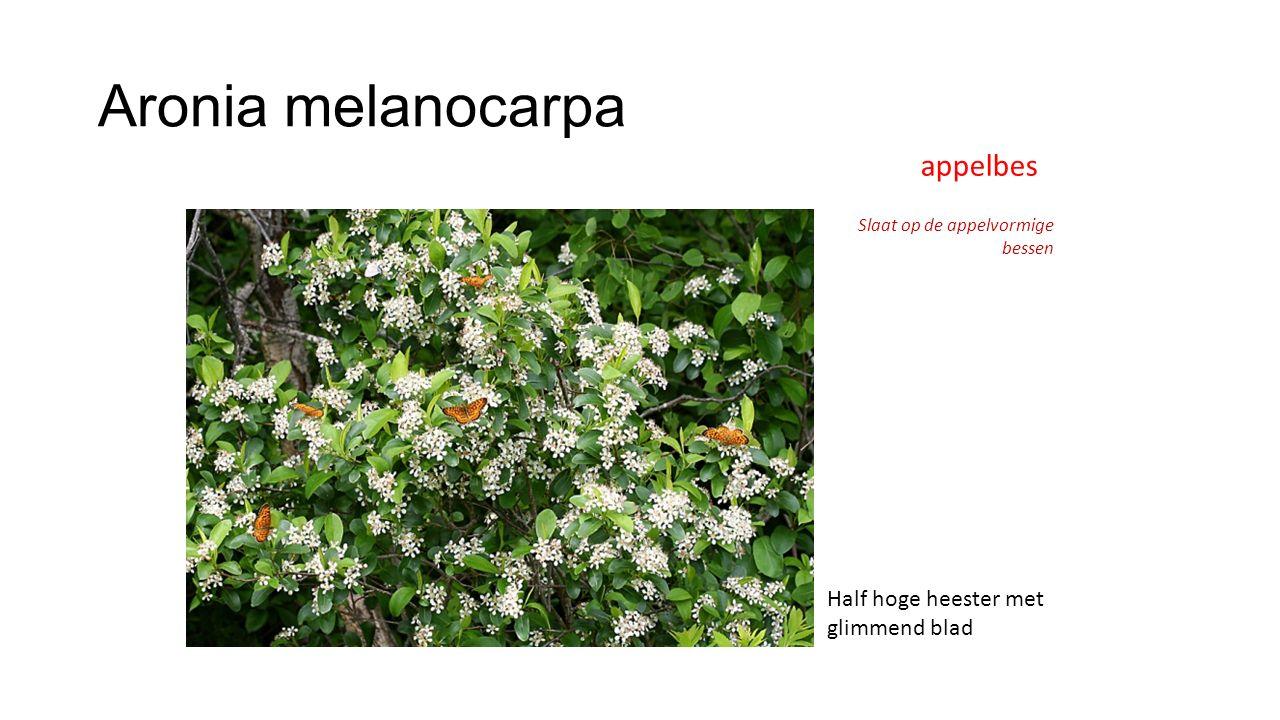 Aronia melanocarpa appelbes Slaat op de appelvormige bessen Half hoge heester met glimmend blad
