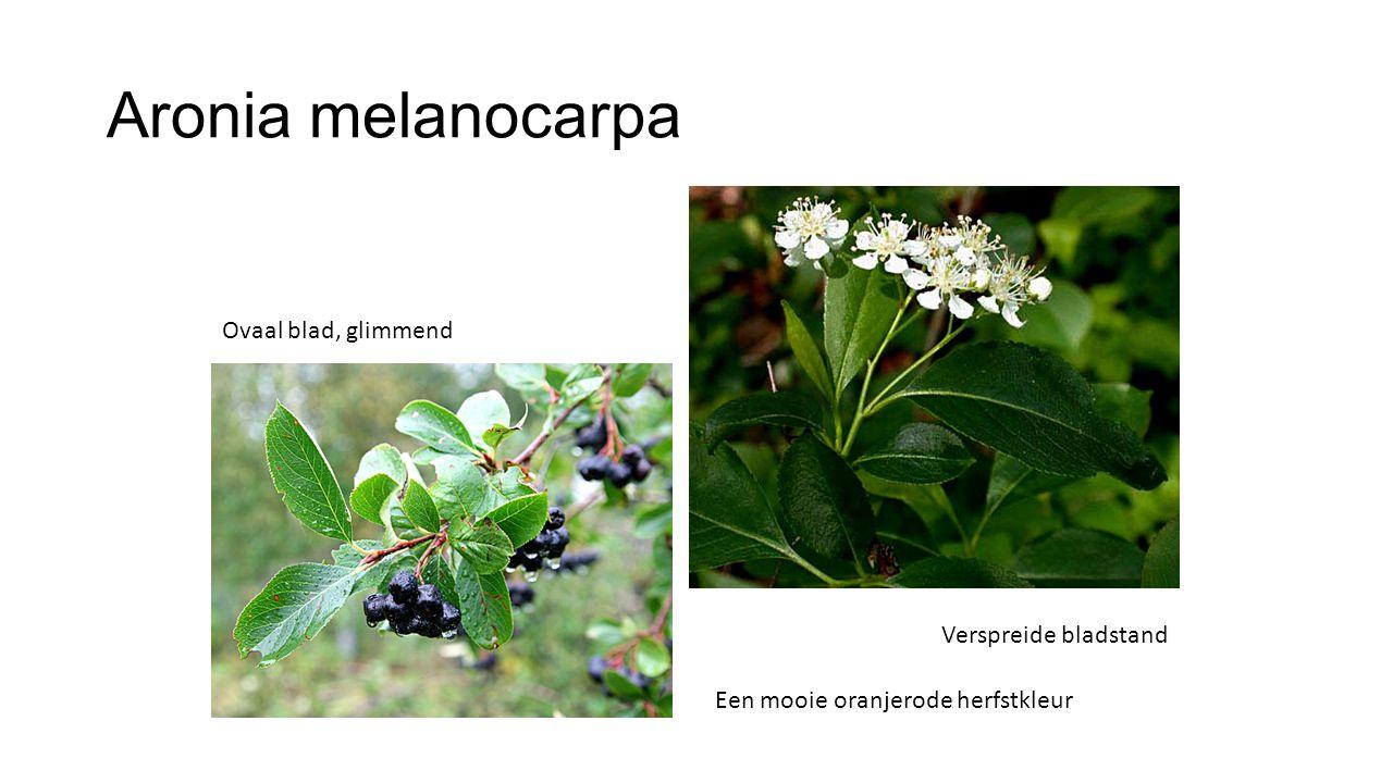 Aronia melanocarpa Ovaal blad, glimmend Verspreide bladstand Een mooie oranjerode herfstkleur