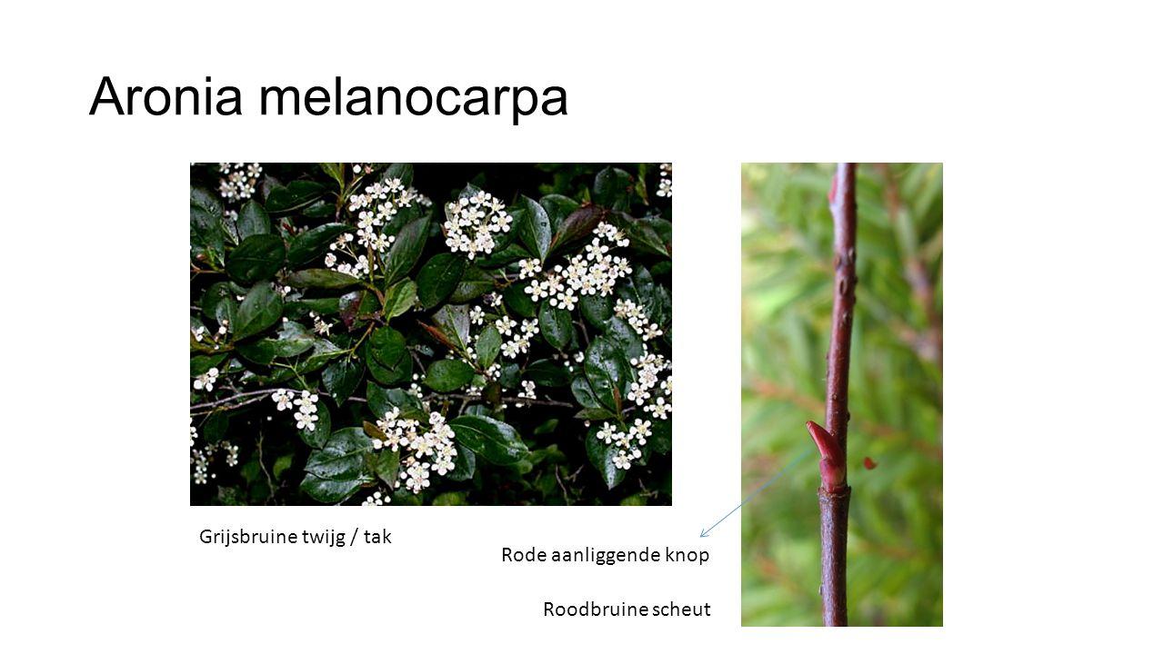 Aronia melanocarpa Roodbruine scheut Grijsbruine twijg / tak Rode aanliggende knop
