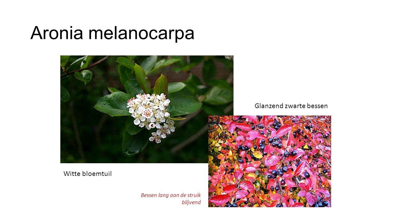 Aronia melanocarpa Witte bloemtuil Glanzend zwarte bessen Bessen lang aan de struik blijvend