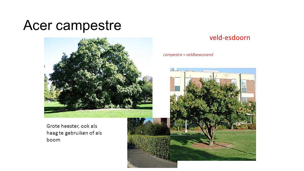 Acer campestre Grote heester, ook als haag te gebruiken of als boom veld-esdoorn campestre = veldbewonend