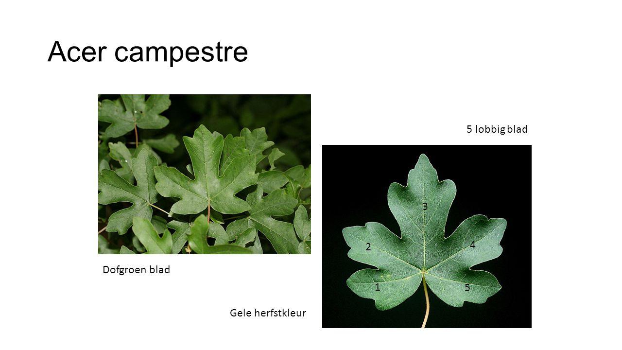 Acer campestre 5 lobbig blad 5 4 3 2 1 Dofgroen blad Gele herfstkleur