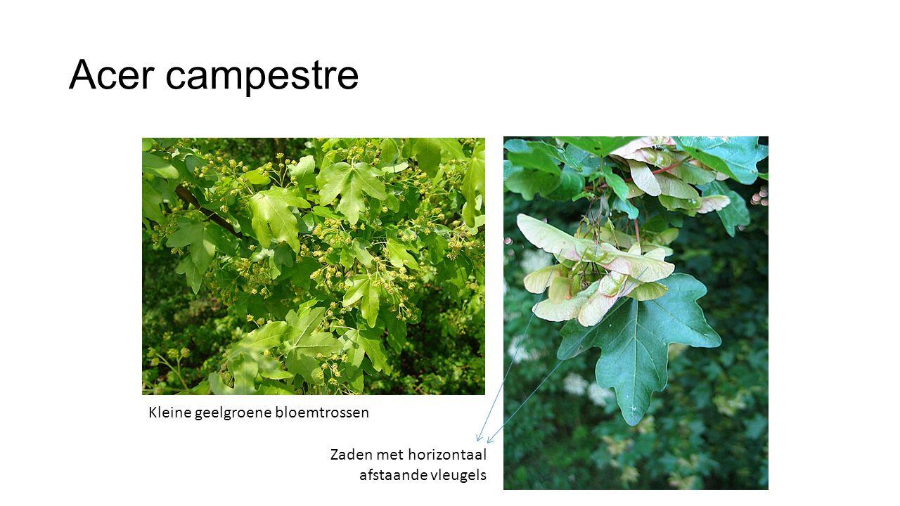 Acer campestre Kleine geelgroene bloemtrossen Zaden met horizontaal afstaande vleugels