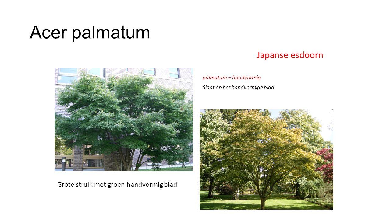 Acer palmatum Japanse esdoorn Grote struik met groen handvormig blad palmatum = handvormig Slaat op het handvormige blad