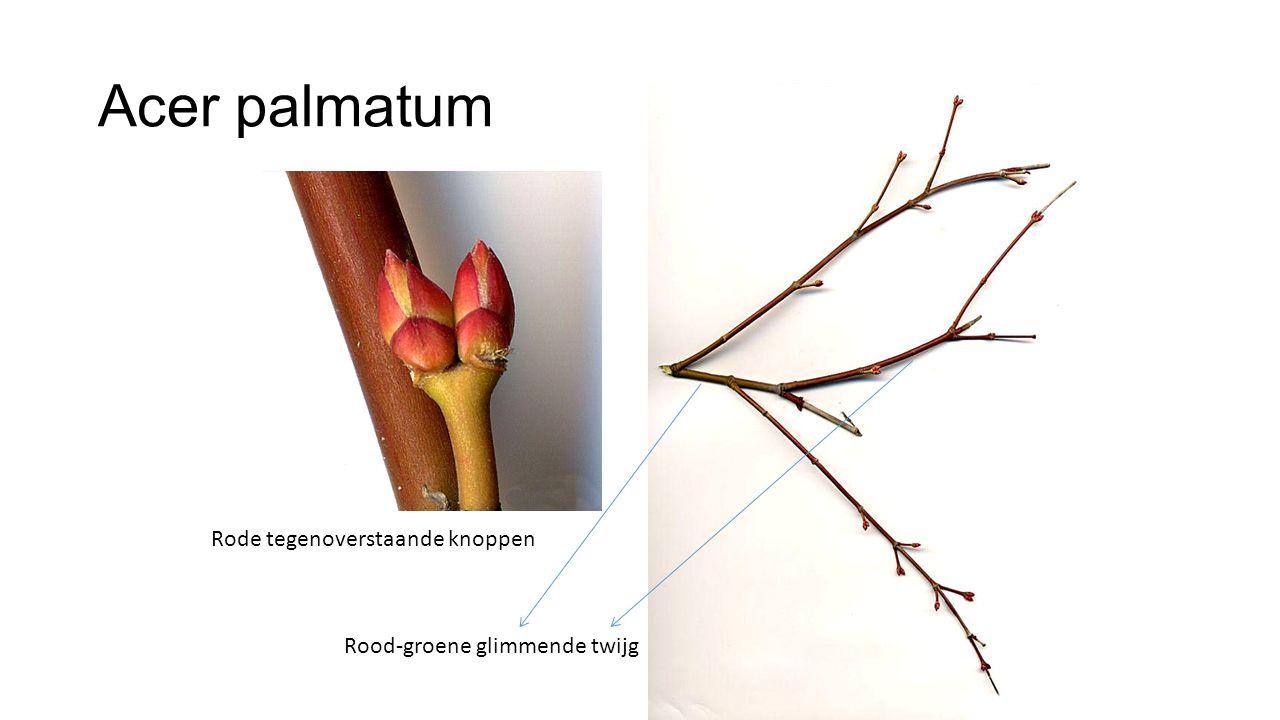 Acer palmatum Rood-groene glimmende twijg Rode tegenoverstaande knoppen
