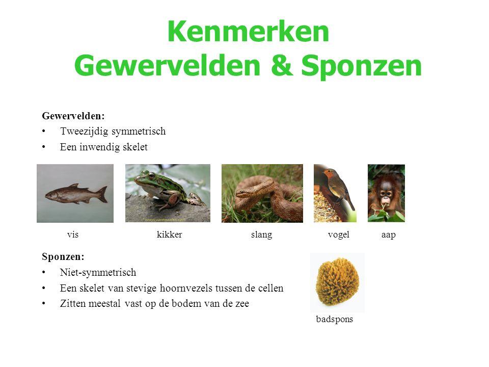 Kenmerken Gewervelden & Sponzen Gewervelden: Tweezijdig symmetrisch Een inwendig skelet Sponzen: Niet-symmetrisch Een skelet van stevige hoornvezels t