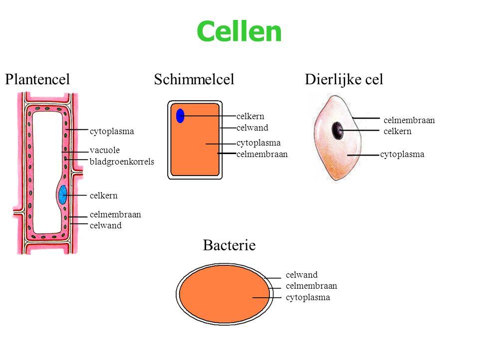 Cellen Dierlijke celPlantencelSchimmelcel cytoplasma vacuole bladgroenkorrels celkern celmembraan celwand celkern celwand cytoplasma celmembraan celkern cytoplasma Bacterie celwand celmembraan cytoplasma celmembraan
