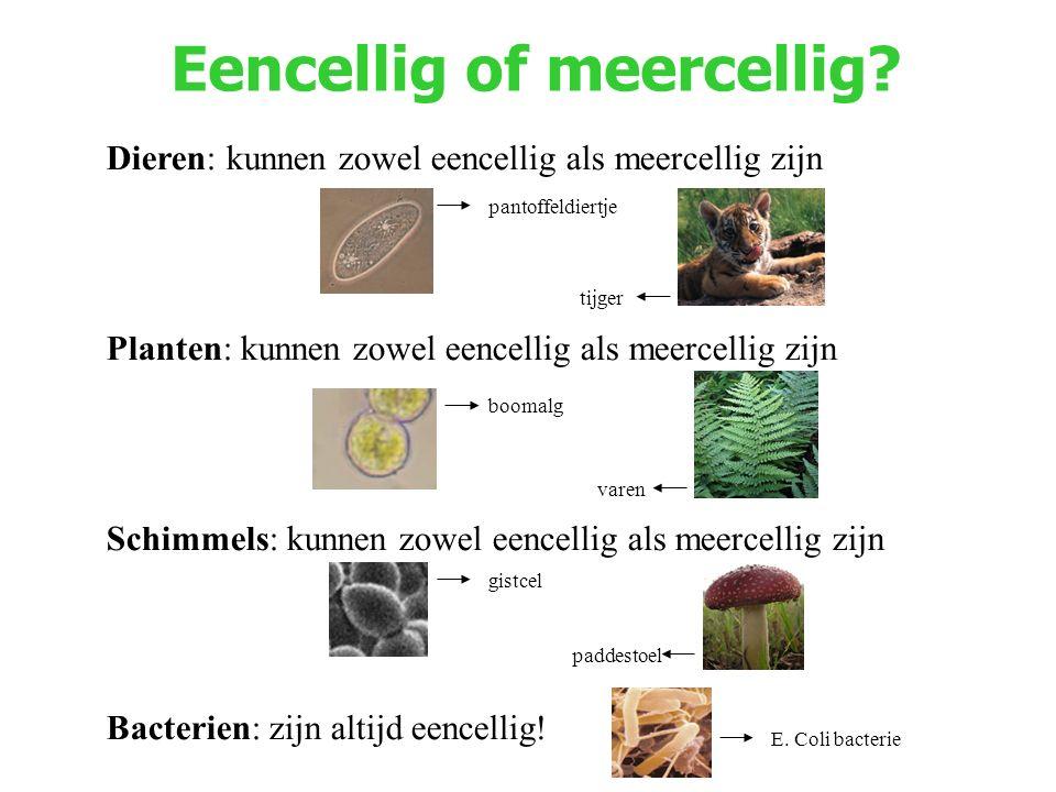 Eencellig of meercellig? Dieren: kunnen zowel eencellig als meercellig zijn Planten: kunnen zowel eencellig als meercellig zijn Schimmels: kunnen zowe