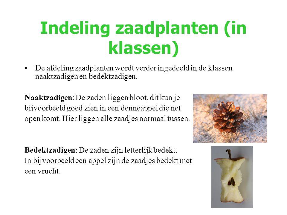 Indeling zaadplanten (in klassen) De afdeling zaadplanten wordt verder ingedeeld in de klassen naaktzadigen en bedektzadigen. Naaktzadigen: De zaden l