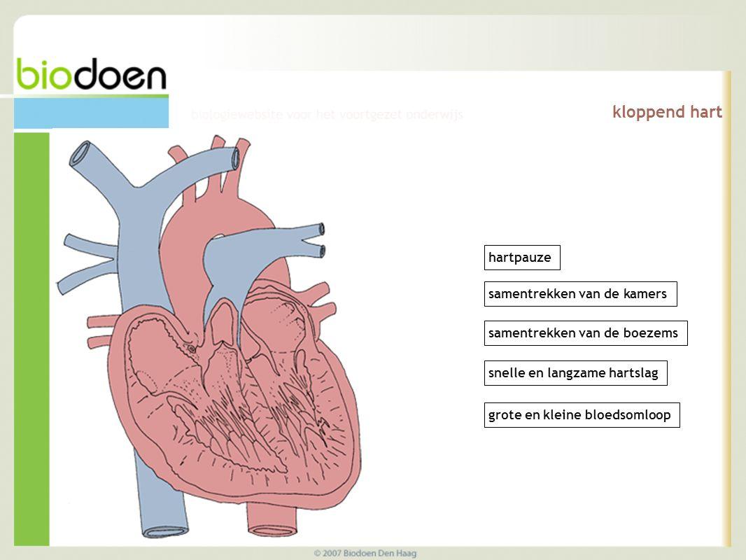 kloppend hart samentrekken van de kamers samentrekken van de boezems hartpauze snelle en langzame hartslag grote en kleine bloedsomloop