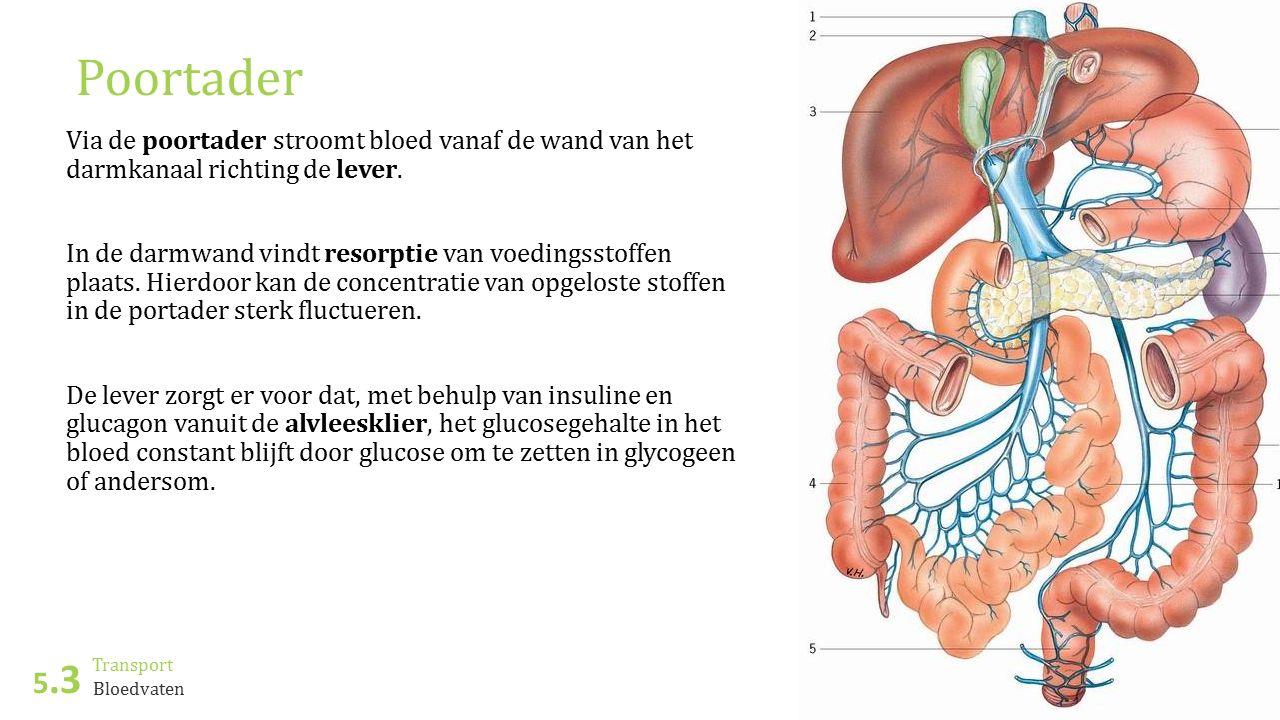 Transport 5.3 ©JasperOut.nl Bloedvaten Poortader Via de poortader stroomt bloed vanaf de wand van het darmkanaal richting de lever. In de darmwand vin