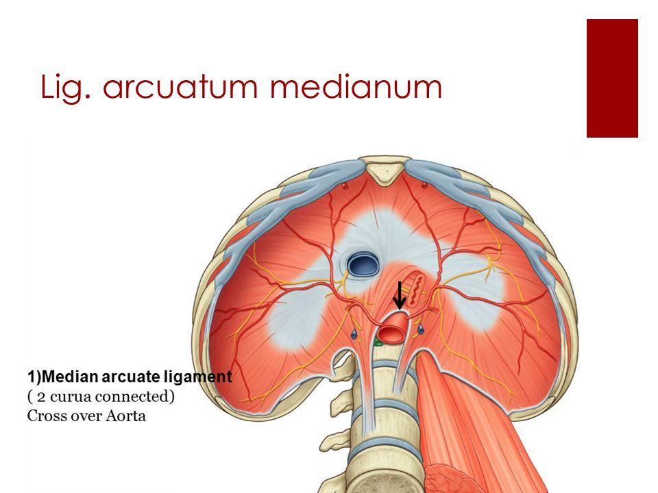 Lig. arcuatum medianum
