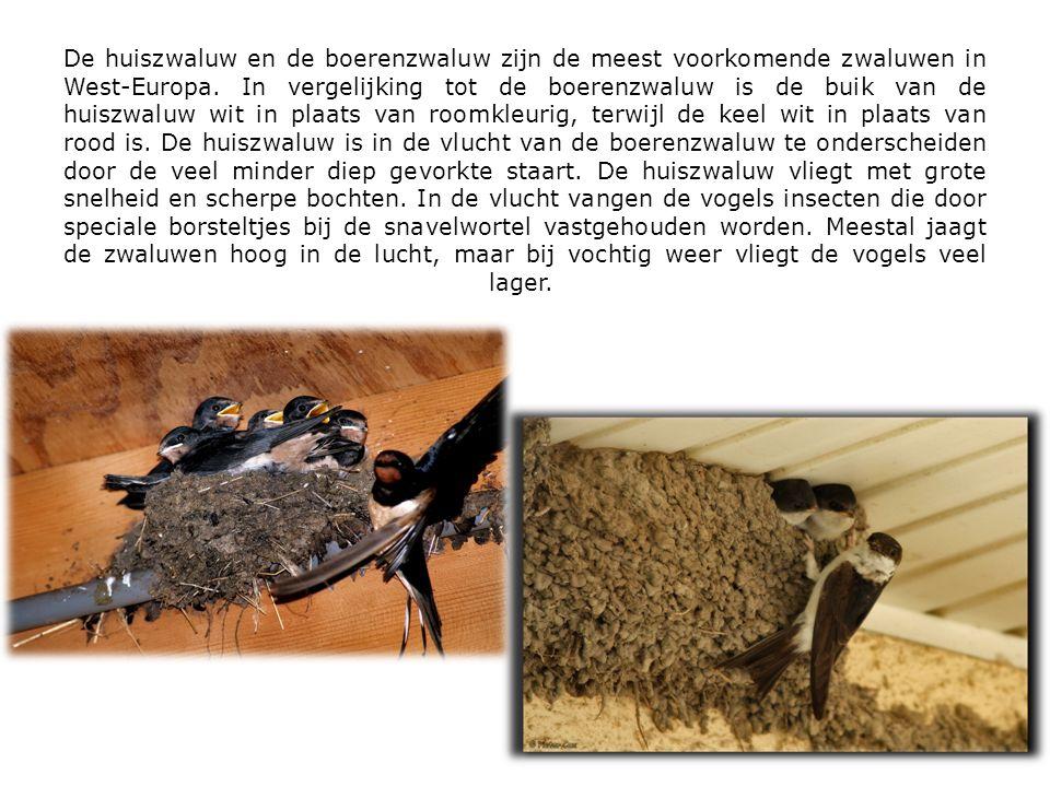 De huiszwaluw en de boerenzwaluw zijn de meest voorkomende zwaluwen in West-Europa. In vergelijking tot de boerenzwaluw is de buik van de huiszwaluw w
