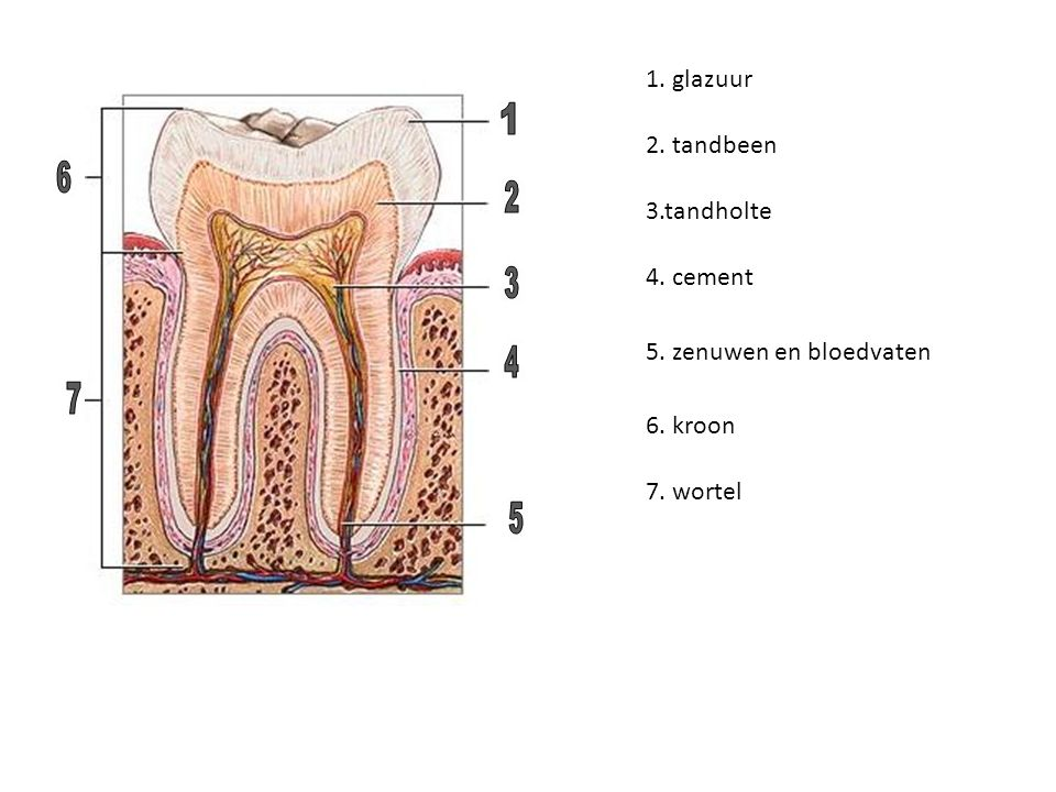 1. glazuur 2. tandbeen 3.tandholte 4. cement 5. zenuwen en bloedvaten 6. kroon 7. wortel