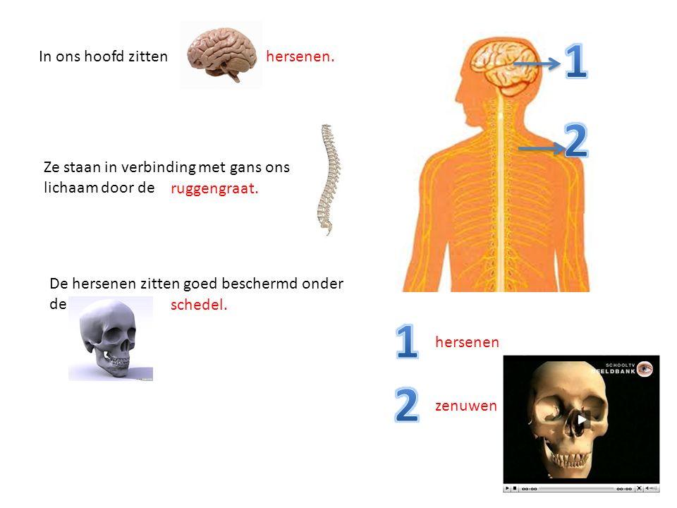 In ons hoofd zittenhersenen. Ze staan in verbinding met gans ons lichaam door de ruggengraat. De hersenen zitten goed beschermd onder de schedel. hers