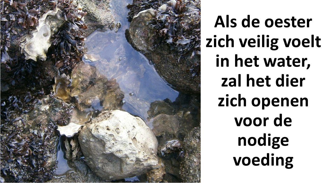 Als de oester zich veilig voelt in het water, zal het dier zich openen voor de nodige voeding