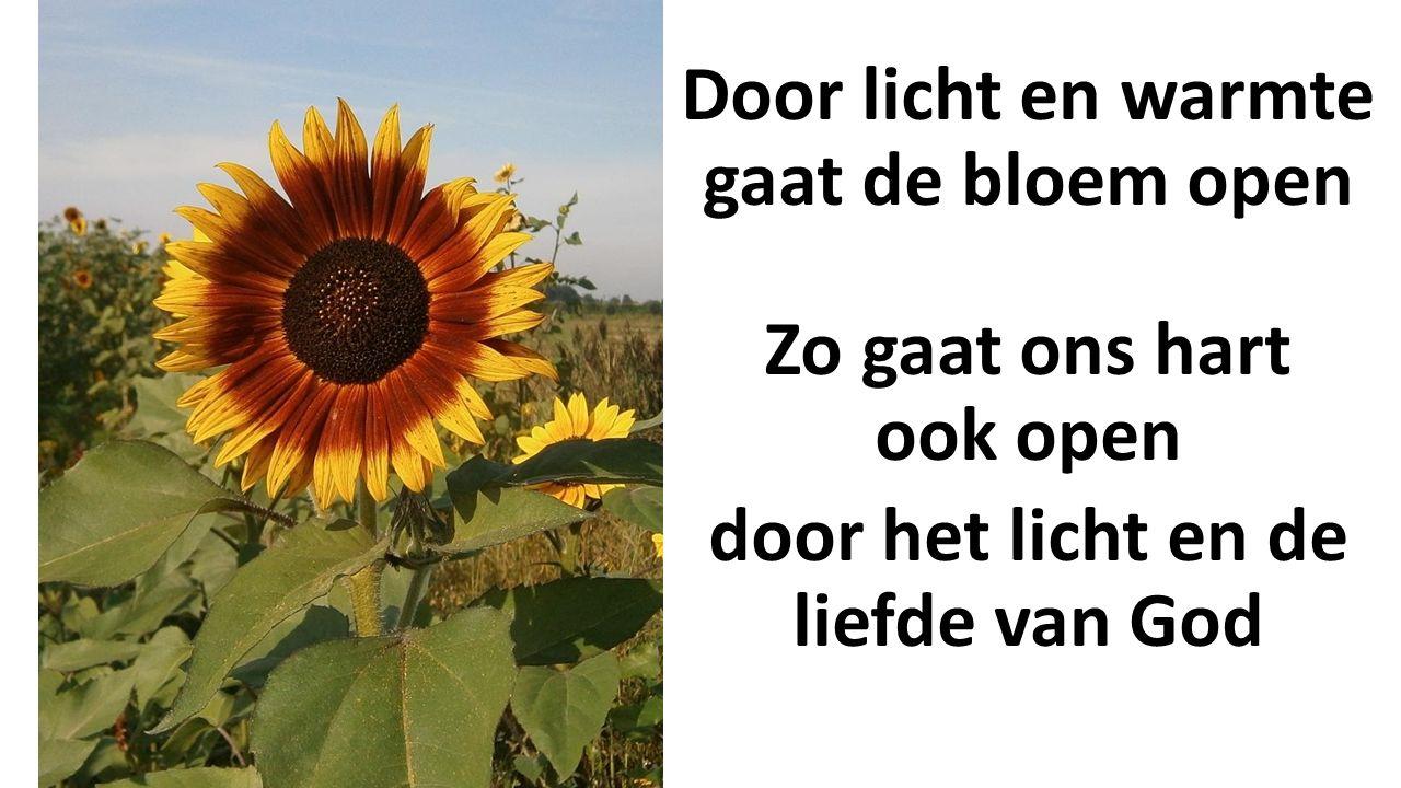 Door licht en warmte gaat de bloem open Zo gaat ons hart ook open door het licht en de liefde van God