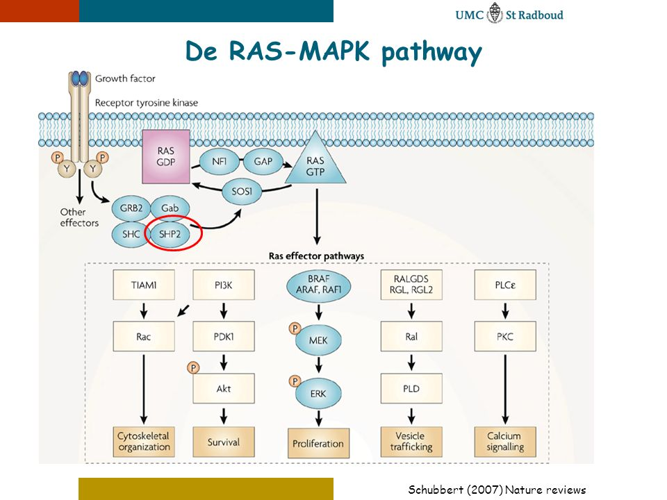 Schubbert (2007) Nature reviews De RAS-MAPK pathway