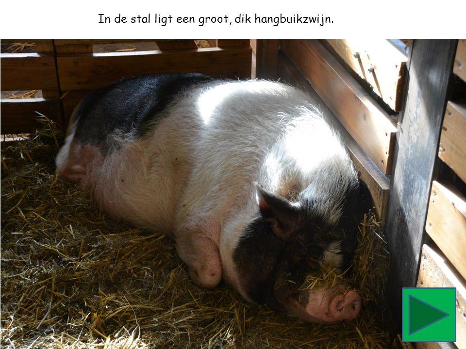 In de stal ligt een groot, dik hangbuikzwijn.
