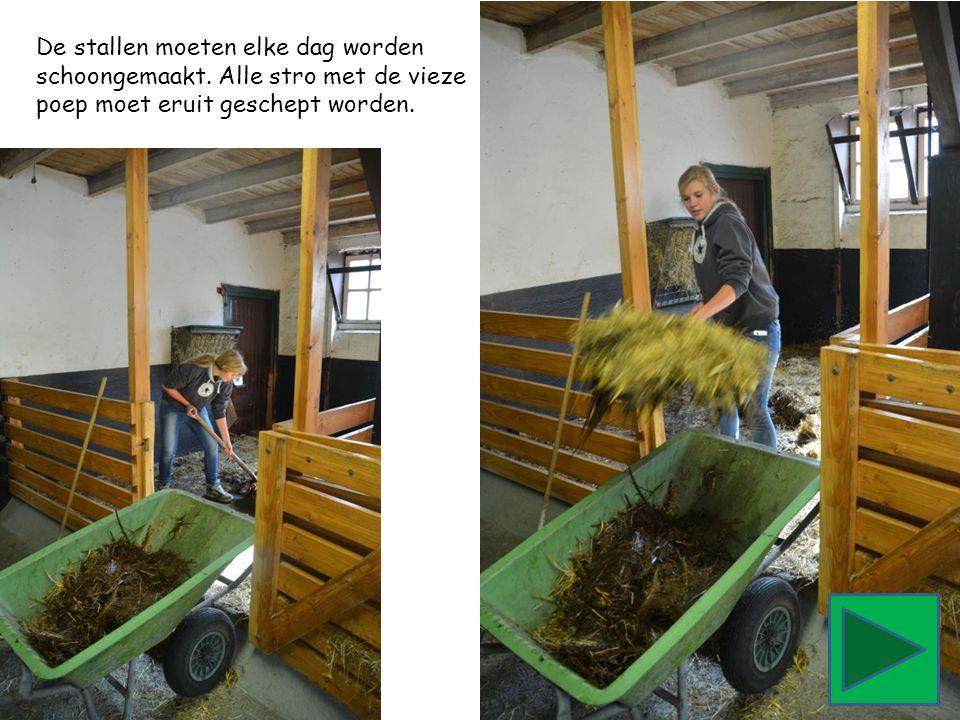 De stallen moeten elke dag worden schoongemaakt. Alle stro met de vieze poep moet eruit geschept worden.