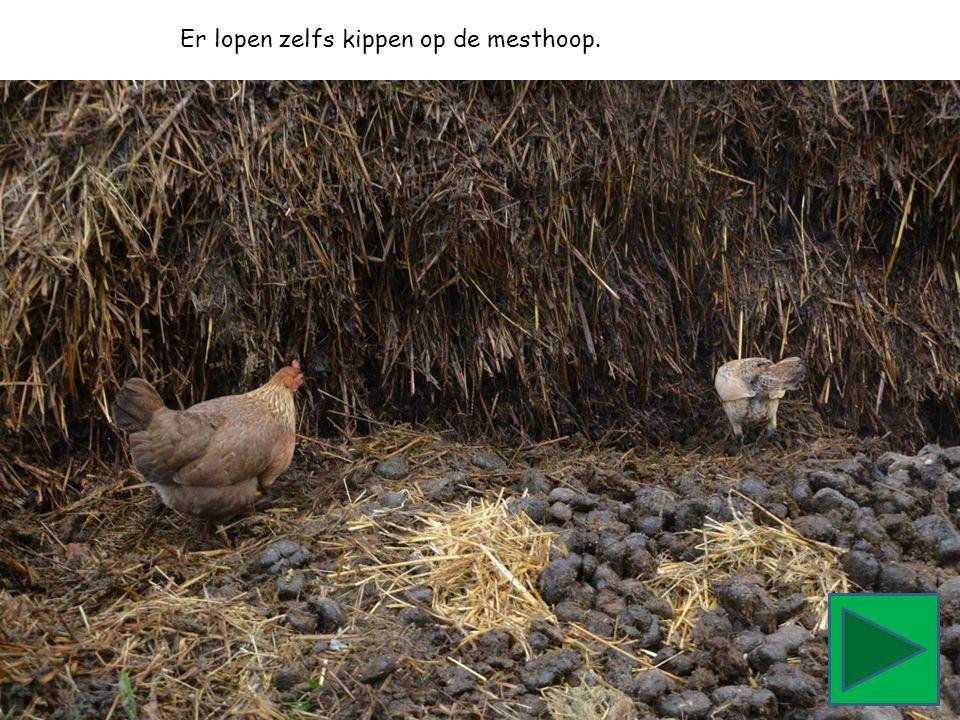 Er lopen zelfs kippen op de mesthoop.