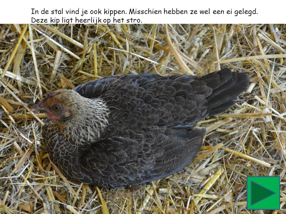 In de stal vind je ook kippen. Misschien hebben ze wel een ei gelegd. Deze kip ligt heerlijk op het stro.