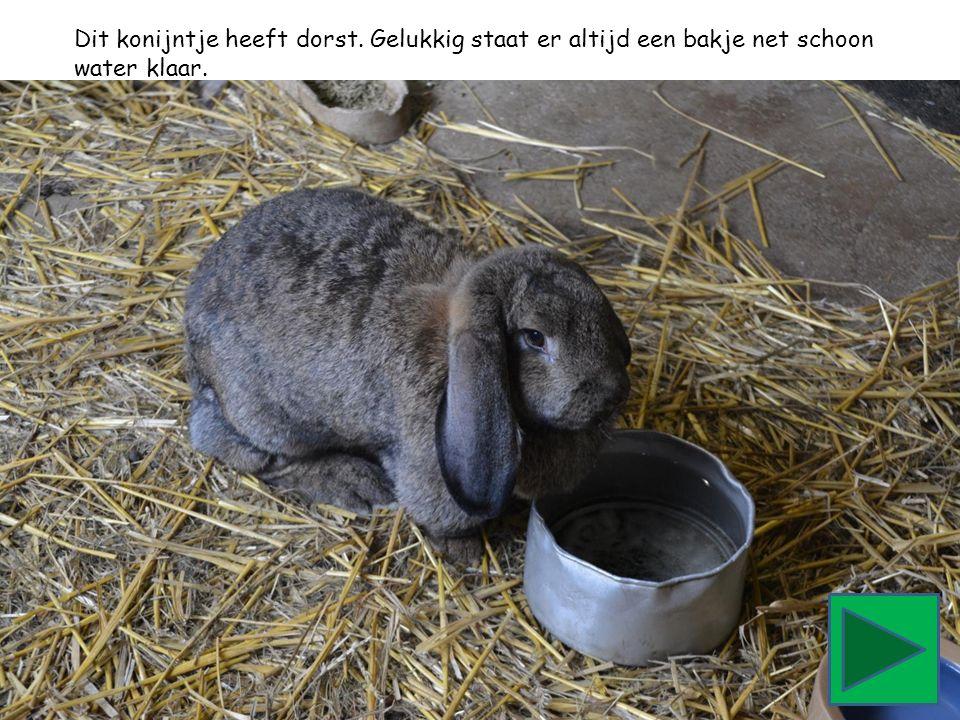 Dit konijntje heeft dorst. Gelukkig staat er altijd een bakje net schoon water klaar.