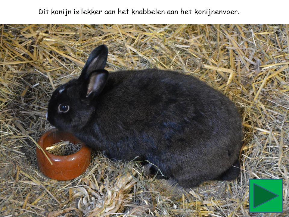 Dit konijn is lekker aan het knabbelen aan het konijnenvoer.
