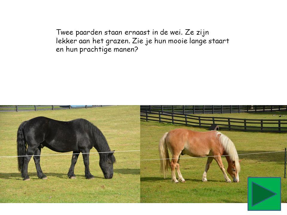 Twee paarden staan ernaast in de wei. Ze zijn lekker aan het grazen. Zie je hun mooie lange staart en hun prachtige manen?