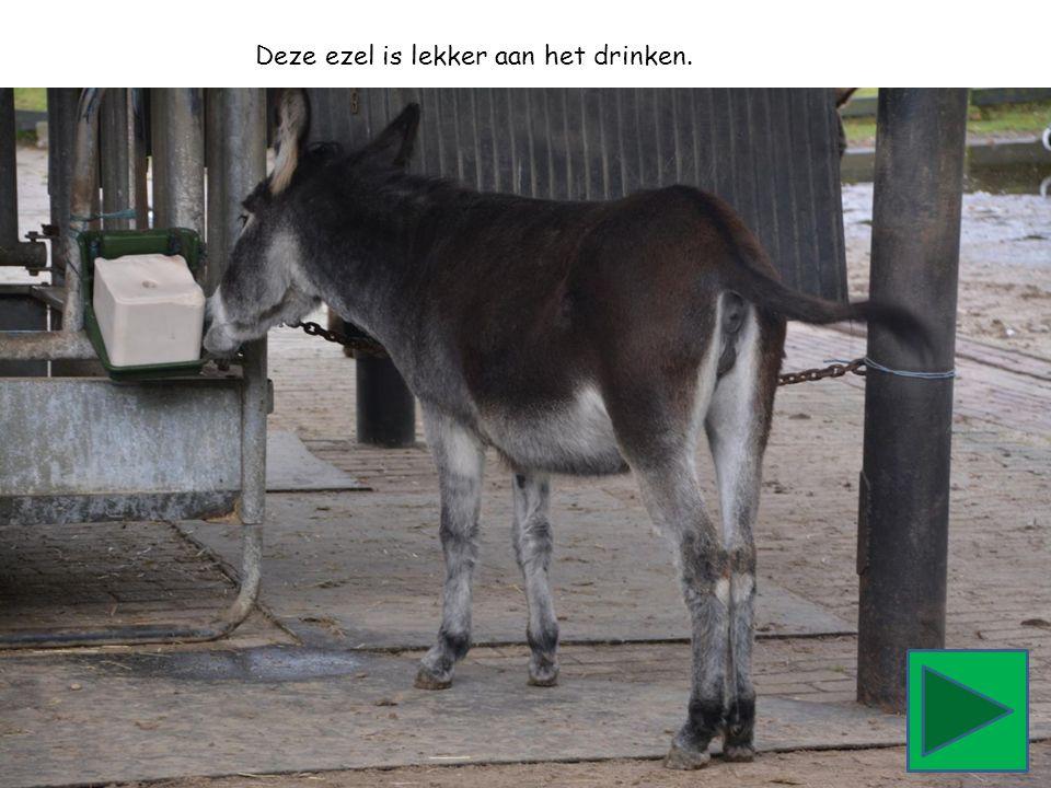 Deze ezel is lekker aan het drinken.