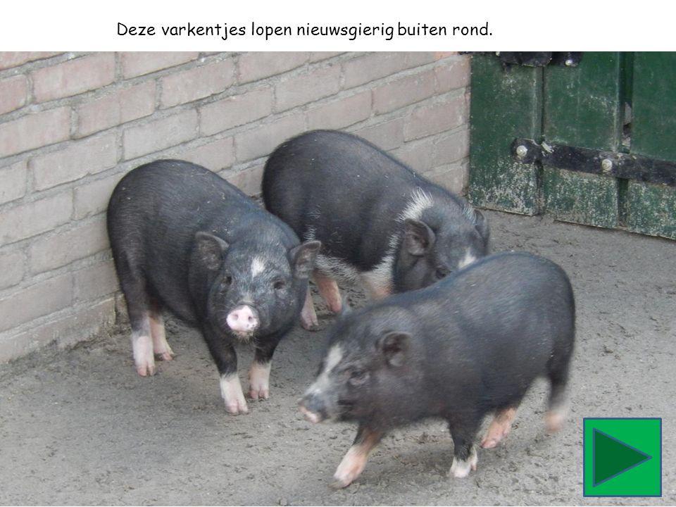 Deze varkentjes lopen nieuwsgierig buiten rond.