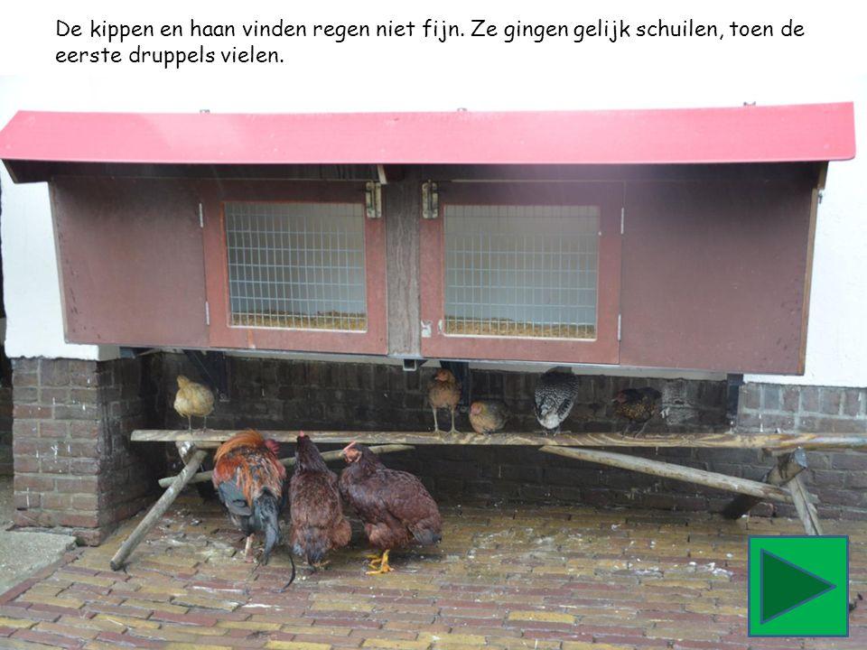 De kippen en haan vinden regen niet fijn. Ze gingen gelijk schuilen, toen de eerste druppels vielen.