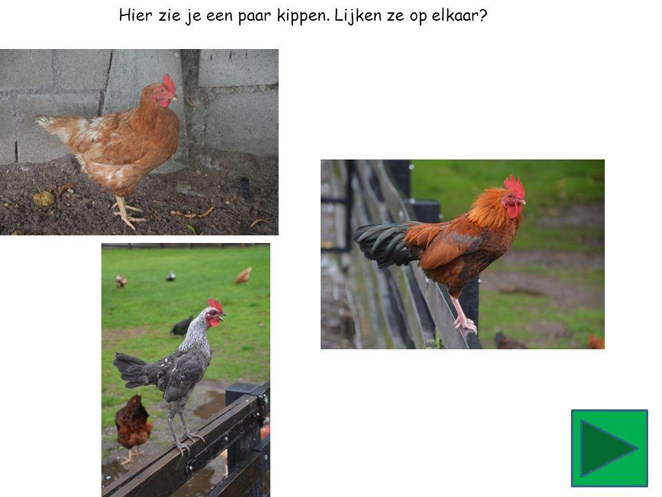 Hier zie je een paar kippen. Lijken ze op elkaar?