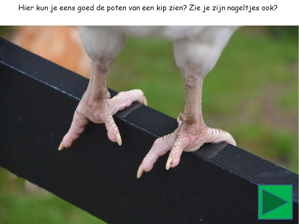 Hier kun je eens goed de poten van een kip zien? Zie je zijn nageltjes ook?