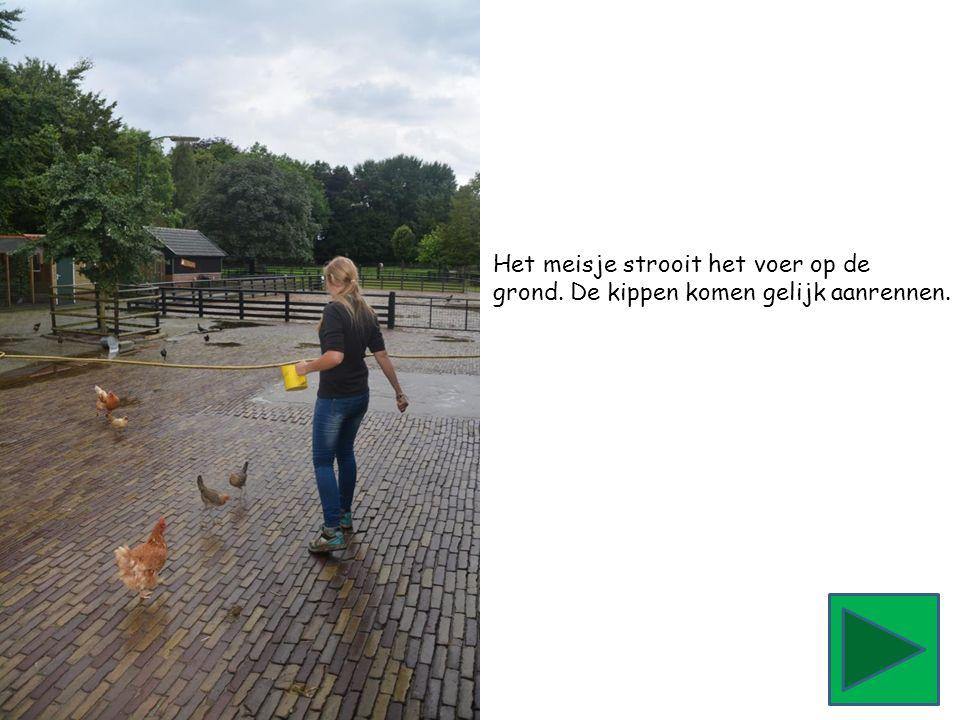 Het meisje strooit het voer op de grond. De kippen komen gelijk aanrennen.