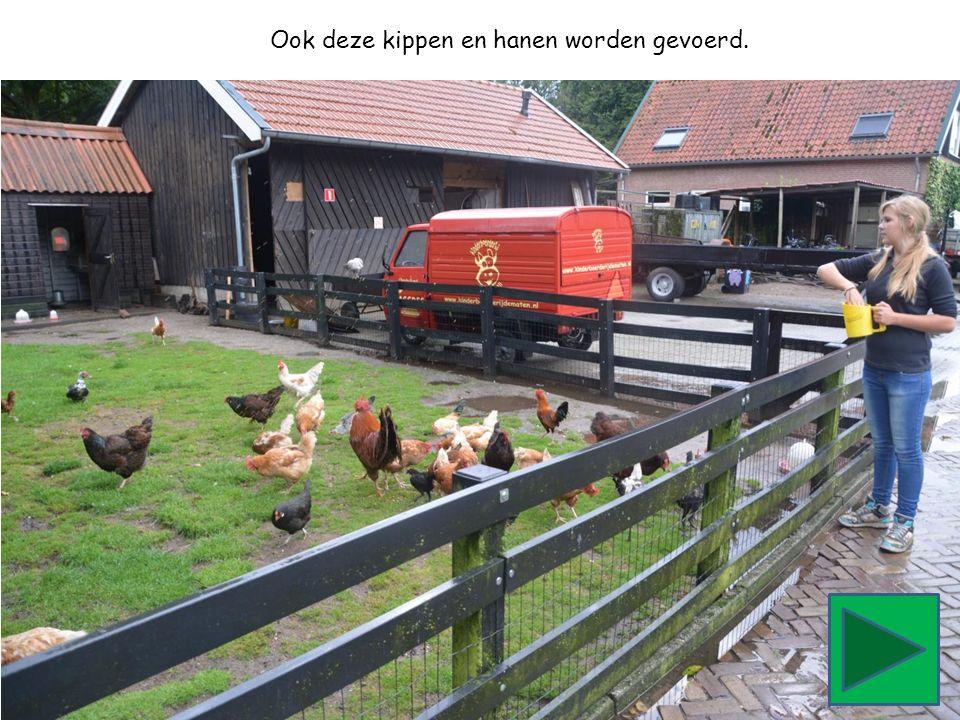 Ook deze kippen en hanen worden gevoerd.