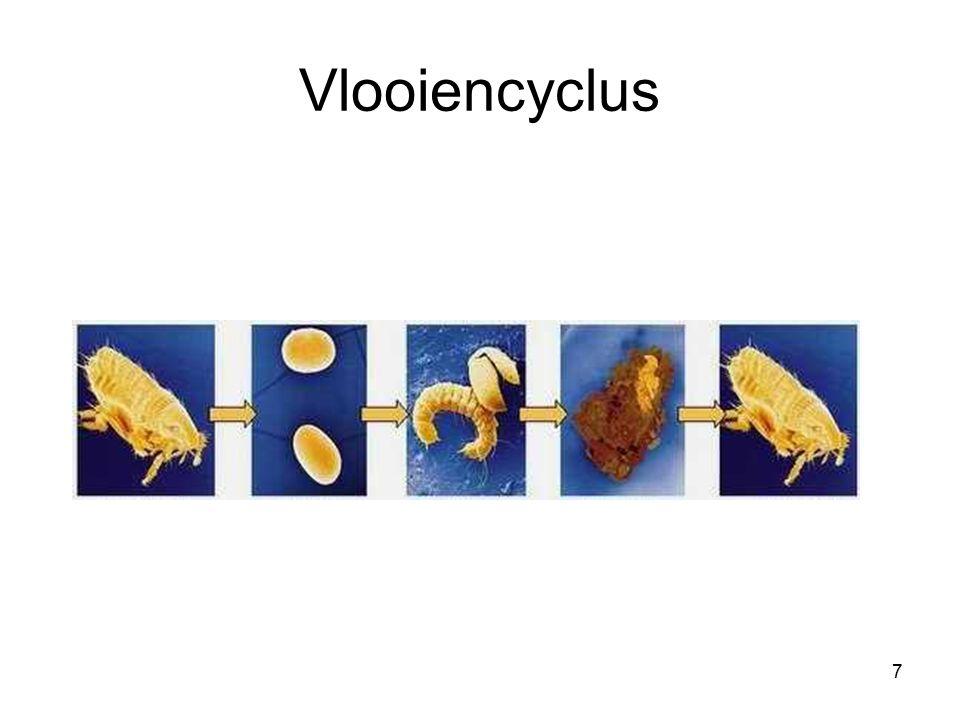 VLOOIENCYCLUS.Eieren Bloedmaaltijd voor het leggen.