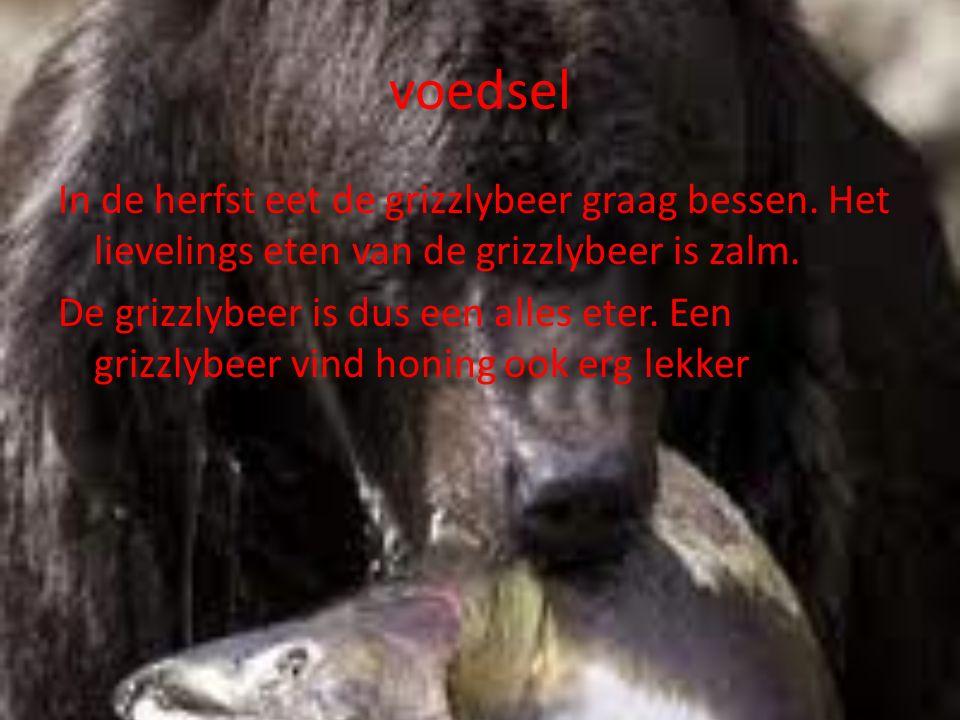 voedsel In de herfst eet de grizzlybeer graag bessen.