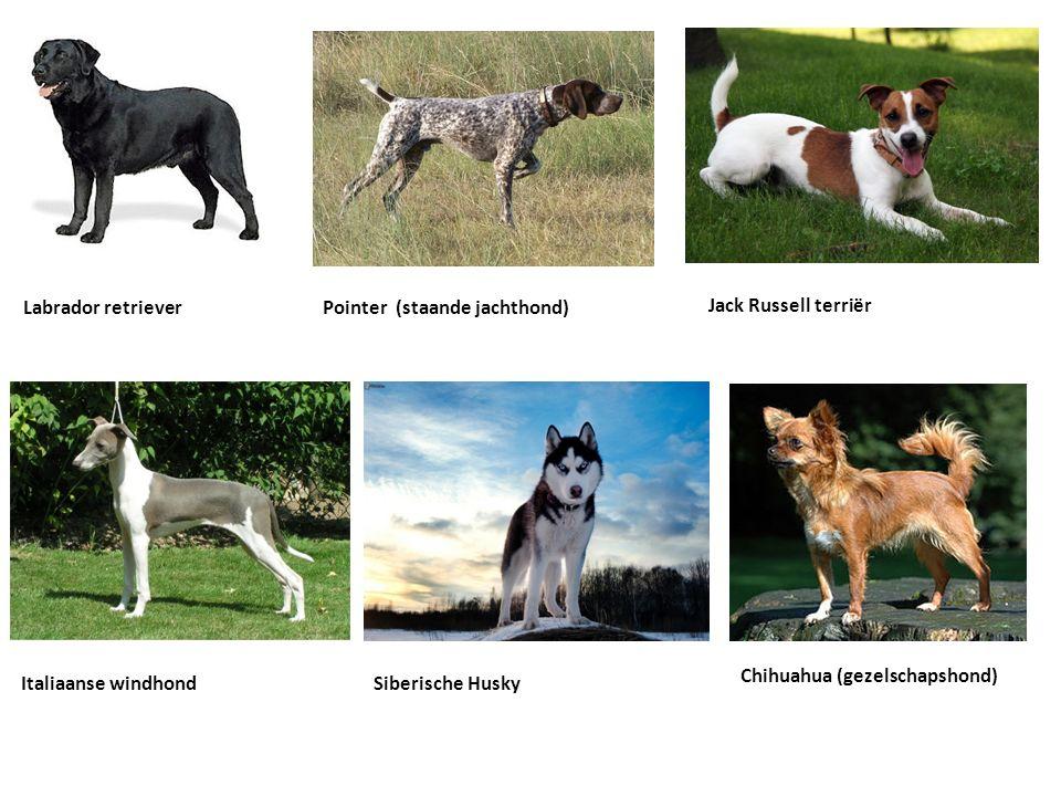 Labrador retrieverPointer (staande jachthond) Jack Russell terriër Italiaanse windhondSiberische Husky Chihuahua (gezelschapshond)