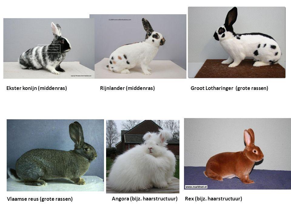 Groot Lotharinger (grote rassen) Vlaamse reus (grote rassen) Angora (bijz. haarstructuur)Rex (bijz. haarstructuur) Rijnlander (middenras)Ekster konijn