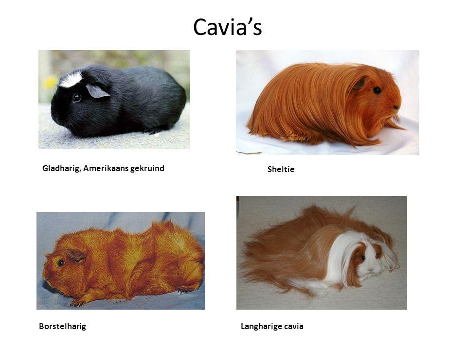 Cavia's Gladharig, Amerikaans gekruind Sheltie BorstelharigLangharige cavia