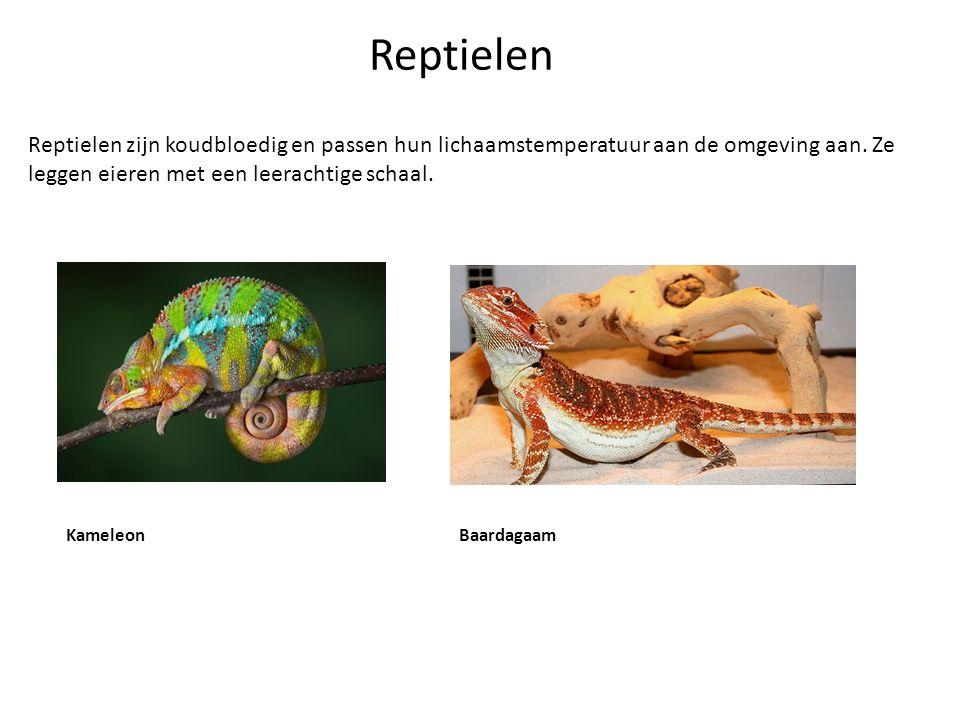 Reptielen Reptielen zijn koudbloedig en passen hun lichaamstemperatuur aan de omgeving aan. Ze leggen eieren met een leerachtige schaal. KameleonBaard