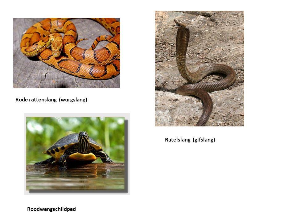 Rode rattenslang (wurgslang) Ratelslang (gifslang) Roodwangschildpad