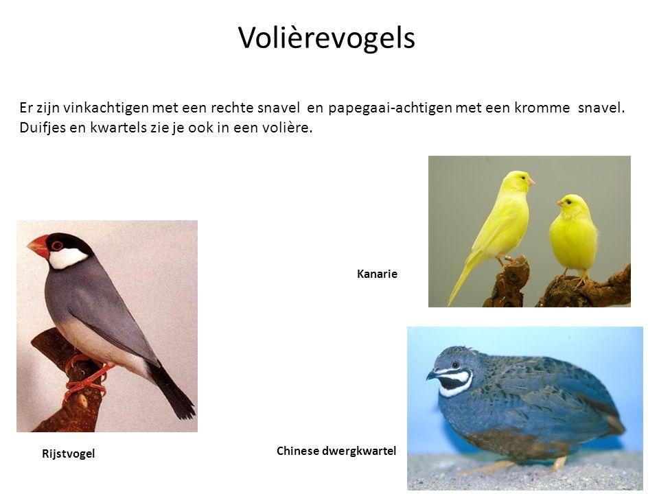 Volièrevogels Er zijn vinkachtigen met een rechte snavel en papegaai-achtigen met een kromme snavel. Duifjes en kwartels zie je ook in een volière. Ri