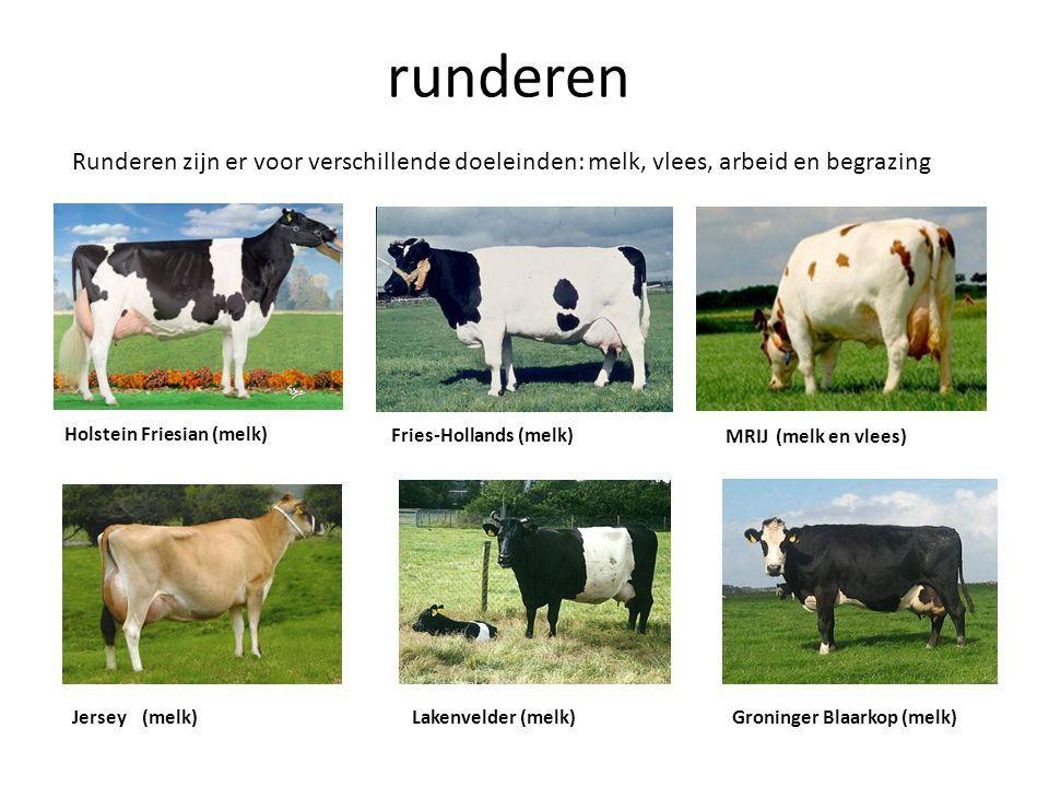 runderen Runderen zijn er voor verschillende doeleinden: melk, vlees, arbeid en begrazing Holstein Friesian (melk) Fries-Hollands (melk) MRIJ (melk en