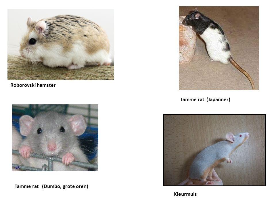 Tamme rat (Japanner) Kleurmuis Roborovski hamster Tamme rat (Dumbo, grote oren)