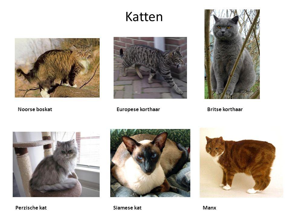 Katten Noorse boskatEuropese korthaarBritse korthaar Perzische katSiamese katManx